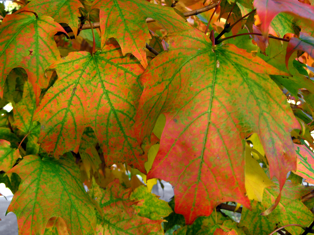green and orange maple leaves